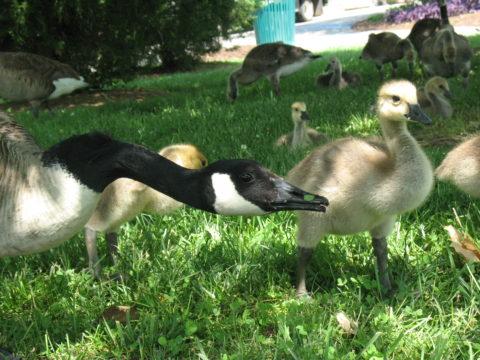Centenial Geese