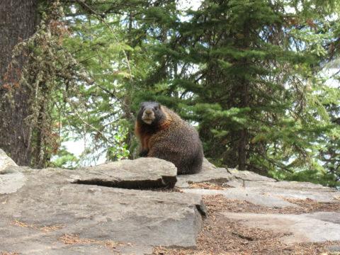 WY 2008-08 Grand Tetons - Posing Animal